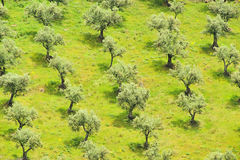 Olive grove Stock Photos