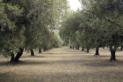 Olive Grove. Olive Plantation in Kolymbia Rhodes Stock Photography
