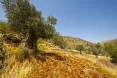 Olive Grove Stock Photo