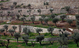 Olive grove;. Olive grove with several olive trees Royalty Free Stock Images