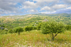 Olive trees and cloudy sky. Olive grove on the hill Stock Photos