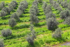 Olive grove. Overgrown with weeds Stock Photography
