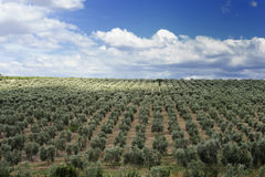 Olive grove Stock Photography