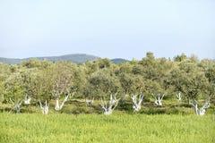Olive Grove imagens de stock royalty free