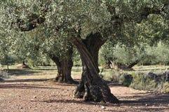 Olive Grove Royaltyfria Bilder