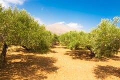 Olive Grove Fotografia de Stock Royalty Free
