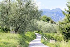 Olive Grove Royaltyfria Foton