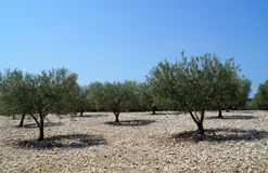 Olive Grove Stockbild