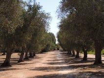 Olive Grove Imagen de archivo
