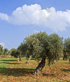 Olive grove. Anciant  olive grove in the Galilee, Israel Stock Photo