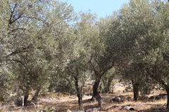 Olive Grove Image stock