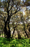 Olive Grove Stockbild