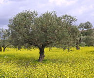 Olive grove. Anciant  olive grove in the Galilee, Israel Royalty Free Stock Image