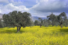 Olive grove. Ancient  olive grove in the Galilee, Israel Royalty Free Stock Photos