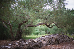 Olive Grove Fotografie Stock Libere da Diritti