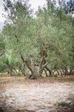 Olive Grove Immagini Stock Libere da Diritti