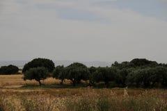 Olive Grove Arkivbilder