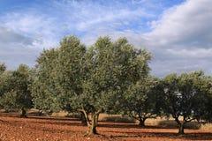 Olive Grove Royalty-vrije Stock Afbeelding