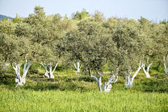 Olive grove Royalty Free Stock Photos