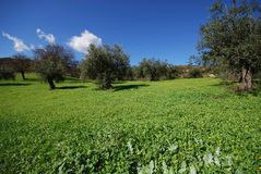 Olive grove, Andalusia, Spain. Stock Image