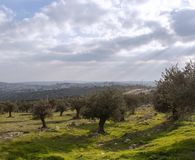 Olive grove on the background of the ancient city stock image