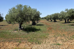 Olive Grove. Beautiful olive grove in the province of Alentejo in Portugal royalty free stock photography