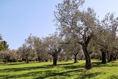 Olive Grove Begrepp av oliv, tradition Olivgrönt växa Sikt av en olivgrön dunge, innan att skörda oliv Arkivbild