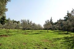 Olive Grove Begrepp av oliv, tradition Olivgrönt växa Sikt av en olivgrön dunge, innan att skörda oliv Royaltyfria Foton