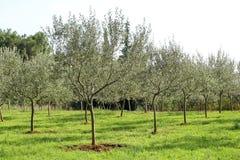 Olive Grove Begrepp av oliv, tradition Olivgrönt växa Sikt av en olivgrön dunge, innan att skörda oliv Arkivfoto