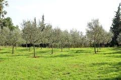 Olive Grove Begrepp av oliv, tradition Olivgrönt växa Sikt av en olivgrön dunge, innan att skörda oliv Royaltyfri Foto