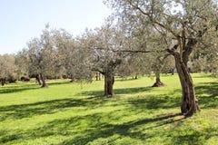 Olive Grove Begrepp av oliv, tradition Olivgrönt växa Sikt av en olivgrön dunge, innan att skörda oliv Royaltyfria Bilder