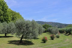 Olive grove in Bolesna, Lazio region Royalty Free Stock Images