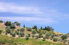 Olive grove in Calabria Stock Photo