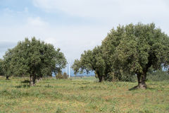 Olive grove, Calabria, Italy Stock Images