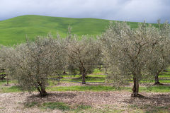 Olive grove, Calabria, Italy Royalty Free Stock Image