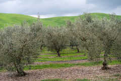 Olive grove, Calabria, Italy Stock Photography