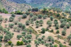 Olive grove in Calabria Royalty Free Stock Images
