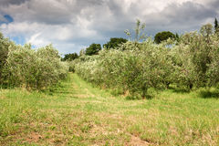 Olive Grove in Central Italy Royalty Free Stock Image