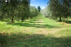 Olive Grove in Central Italy Royalty Free Stock Photos