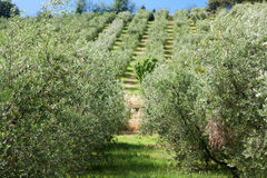 Olive Grove in Central Italy Stock Image