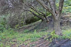 Olive grove in Corfu Royalty Free Stock Photography