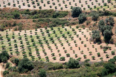 Olive grove in Crete Stock Photo