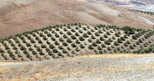 Olive grove and dry fields Royalty Free Stock Images