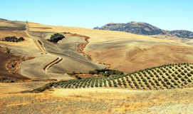 Olive grove and dry fields Royalty Free Stock Photography