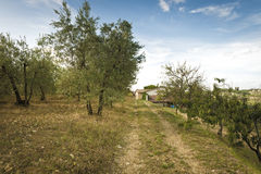Olive grove farm in tuscany Royalty Free Stock Photography