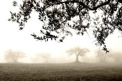 Olive grove in the fog Royalty Free Stock Photos