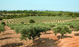 Olive grove in France Stock Photo