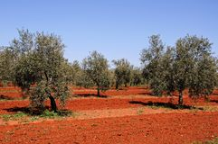 Olive grove, Fuente del Piedra. Olive grove with rich red soil near Fuente del Piedra, Malaga Province, Andalusia, Spain, Western Europe stock photos