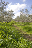 Olive grove in Galilee .Israel. Olive trees in Israel with green grass Stock Image