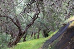 Olive grove in Greece Stock Photo